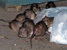rats_0